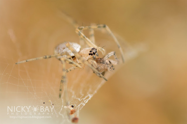 Ornamental Tree Trunk Spider (Herennia sp.) - DSC_1744