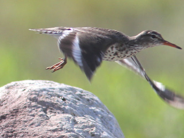 Spotted Sandpiper in flight 20120515