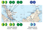 Thumbnail of Geographic origin of the genetic sequences generated during study of Plasmodium knowlesi parasite populations, Malaysia. The numbers in each circle refer to the number of sequences (macaque or human) obtained for the genes P. knowlesi type A small subunit ribosomal 18S RNA (numbers in white) and P. knowlesi cytochrome oxidase subunit I (numbers in yellow).