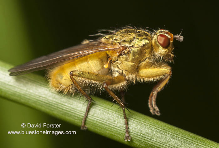 06D-2844aYellow Dung-Fly Scathophaga stercoraria UK.