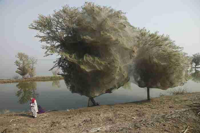 Δέντρα γεμάτα ιστούς αράχνης: