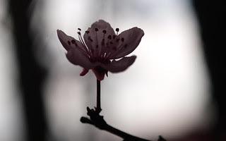 Prunus cerasifera var. pissardi