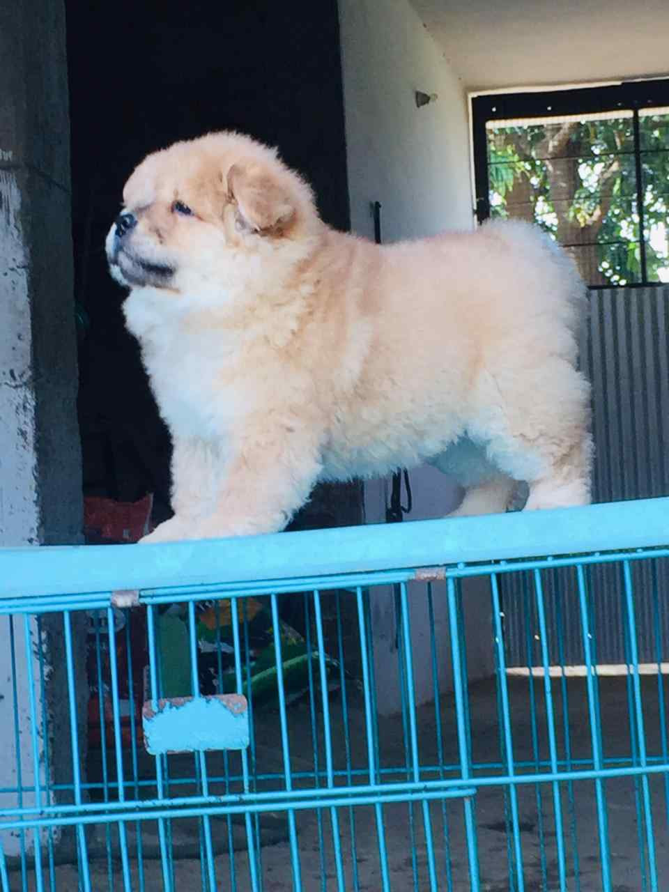Chow Chow Puppies for Sale: Price in India | Mr n Mrs Pet