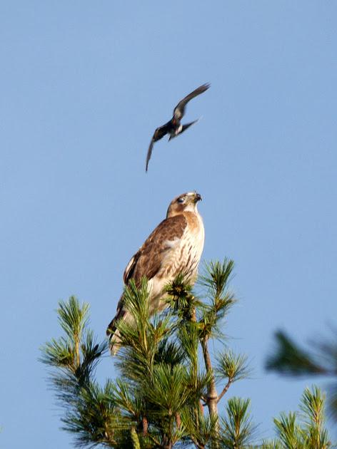 Ed Gaillard: birds &emdash; Eastern Kingbird mobbing Red-Tailed Hawk, Central Park