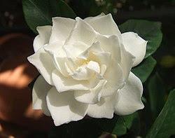 Gardenia augusta