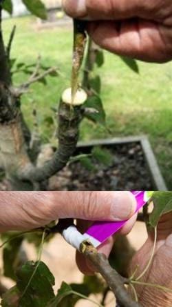 Cultivo de frutales ingerto de plantas frutales - Cuando plantar frutales ...