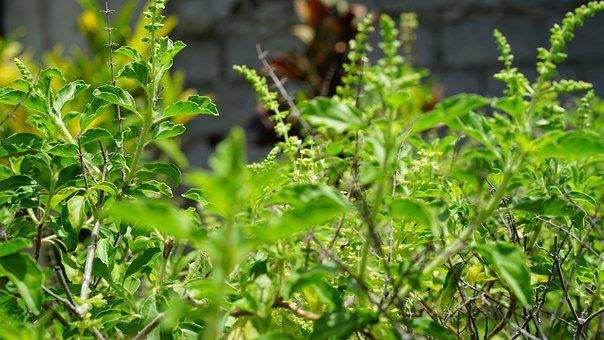 7 Proven Benefits of Holy Basil (Tulsi Benefits) | Fitness Yodha