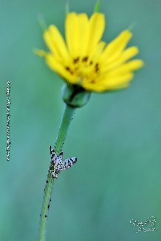 Orellia falcata ♀