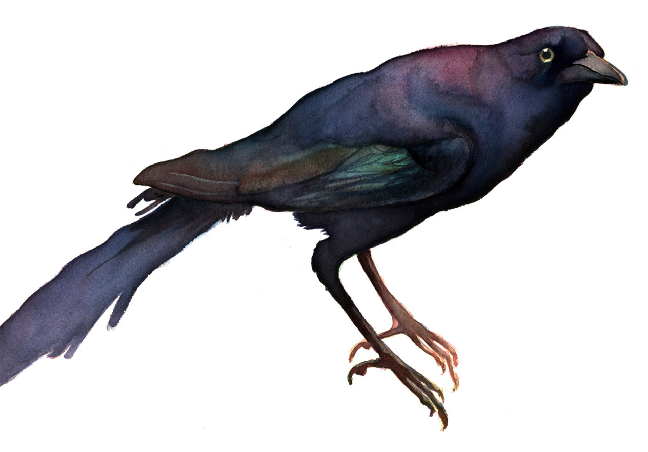 Grackle, watercolor 2011 Buy a print