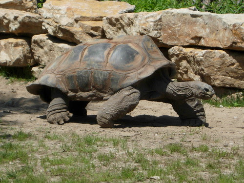 Tortise on the move