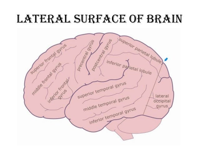 anatomy of brain sulcus and gyrus drsajith md rd 13 638
