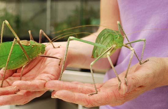 Τα 16 μεγαλύτερα έντομα στον κόσμο (3)