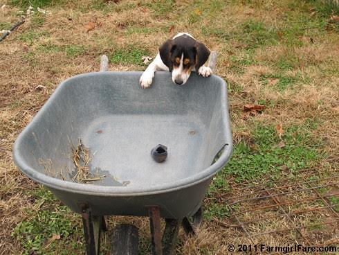 Determined Beagle Bert 3 - FarmgirlFare.com
