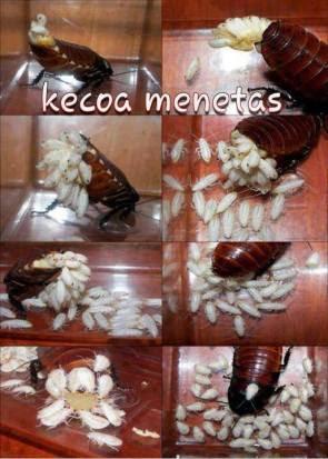 kecoa menetas