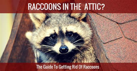 Racoons in your Attic or Home? Learn How to Get Rid of Them!