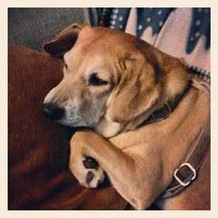 Rainy Day Lazy Sophie #dogs #dogsofinstagram #dogstagram #instadog #rescue #petstagram #rain #relax #adoptdontshop