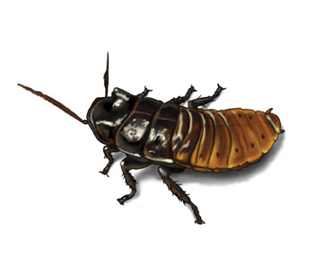 madagascar cockroach picture