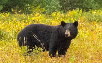 First Black Bear Hunting Season in 20 Years Planned in Florida