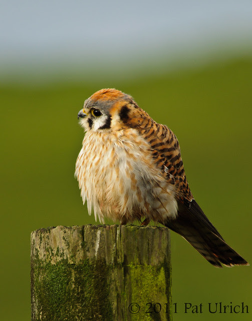 Sideways glance from female kestrel - Pat Ulrich Wildlife Photography