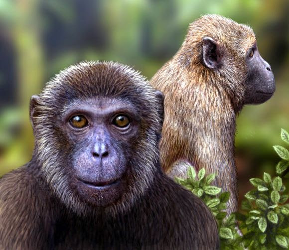 Paleontologists working at Ohio University have unearthed evidence of two new species of ancient primates, named Rukwapithecus fleaglei and Nsungwepithecus gunnellifa, which offer solid evidence of a split between Old World monkeys and apes.