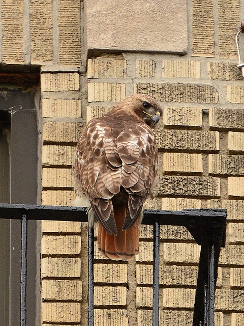 Washington Heights Mother Hawk
