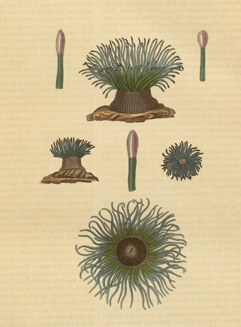 Actinia viridis (Actinie verte)