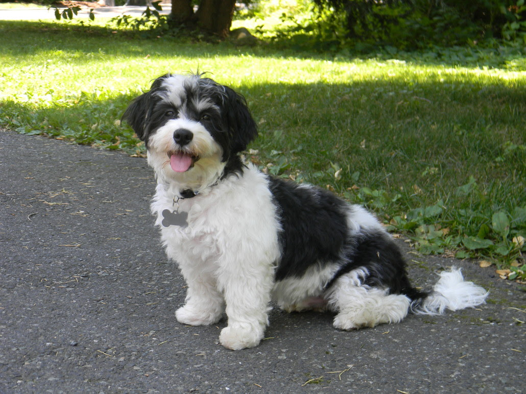 Havanese Breed Guide  Learn about the Havanese.