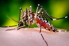 O mosquito Aedes alimentando-se do hospedeiro humano