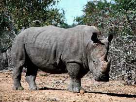a rhinoceros