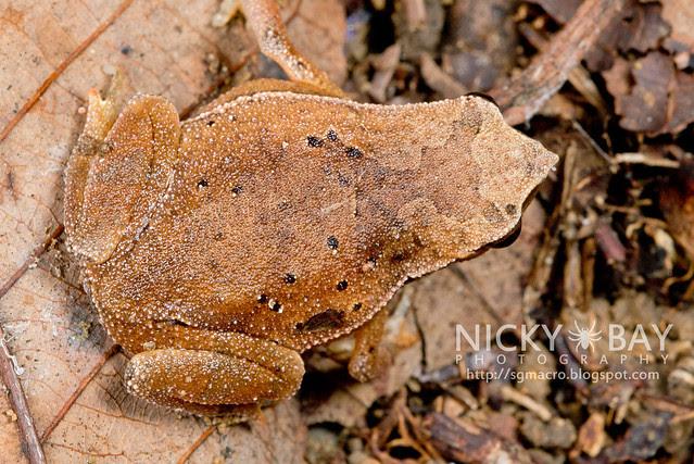 Black-spotted Sticky Frog (Kalophrynus pleurostigma) - DSC_1445