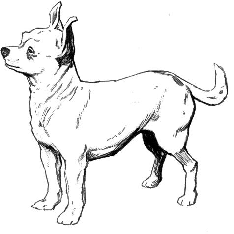 Chihuahua_BW