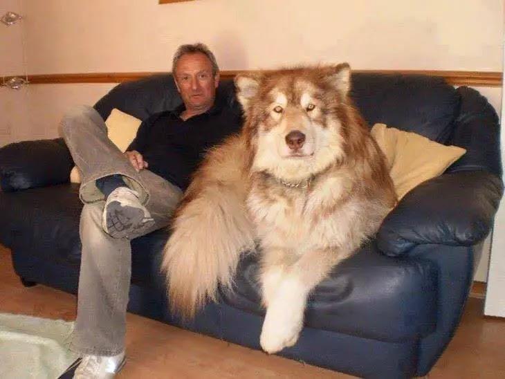 chien loup sur canape