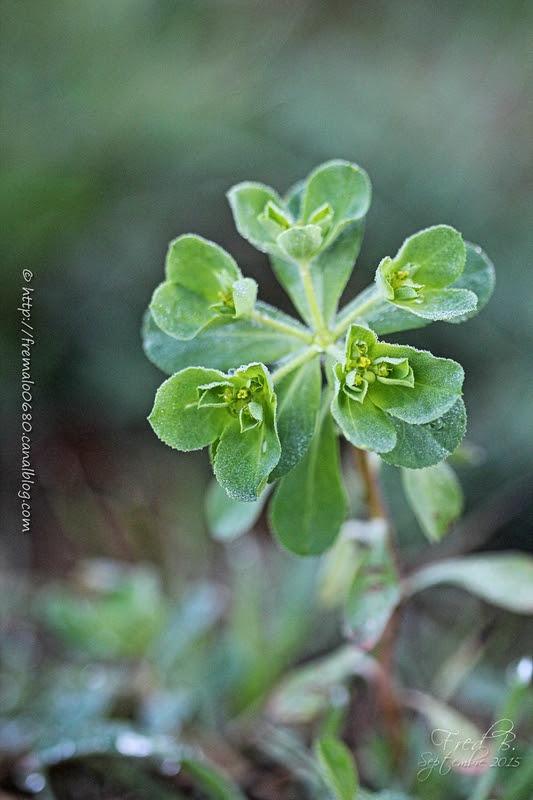 Euphorbia amygdaloïdes
