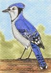 Blue Jay ACEO