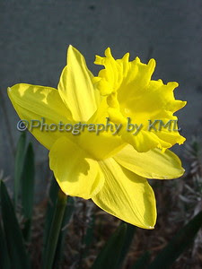 a bright yellow sprig daffodil