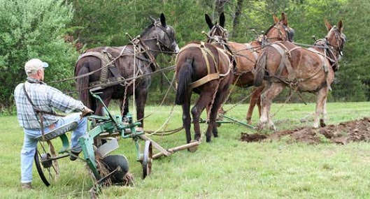 Plowing with Mules