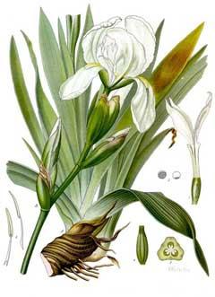 Iris germanica florentina Orris,  Orris-root