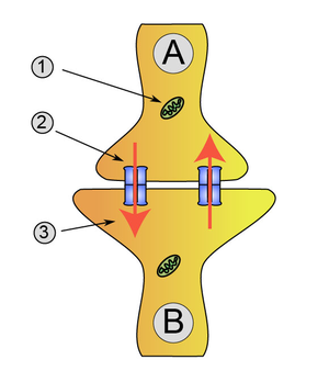 Synapse diag2.png