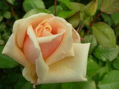 ※※※ 【バラ苗】 サフラノ (T杏) 国産苗 大苗 6号鉢植え品 ☆ 1月末までにお届け予...