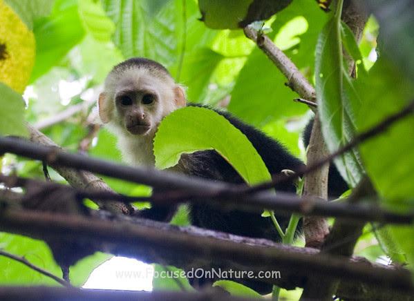 Juvenile White-Faced Capuchin