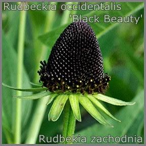 Rudbeckia occidentalis 'Black Beauty' - Rudbekia zachodnia