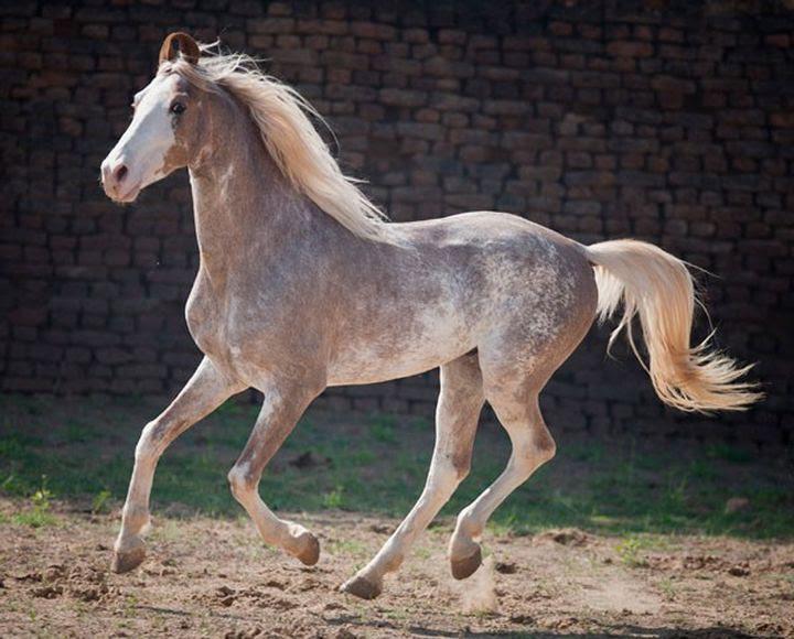 Sabino animal horse