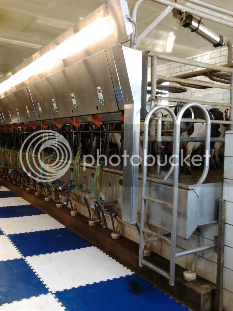 Goma Dairy Farm Milking