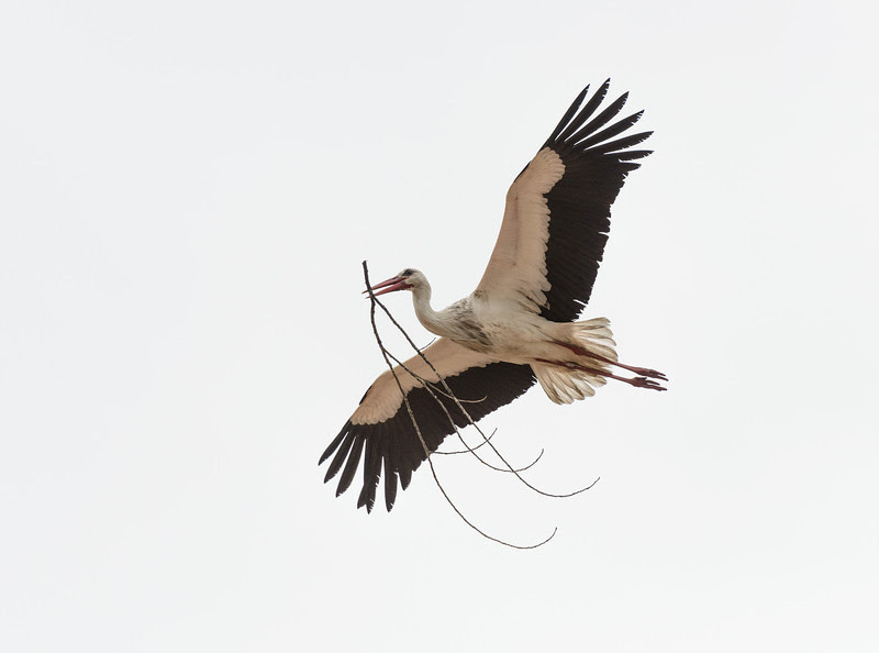 Stork building nest, at Comporta