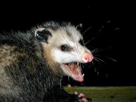 How to Get Rid of Possum: Possum Repellent
