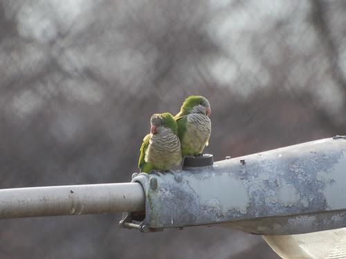 Riverside Monk Parakeets