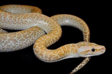 kingsnake.comphoto gallery > Burmese Pythons > Hypo Granite Burmese Python