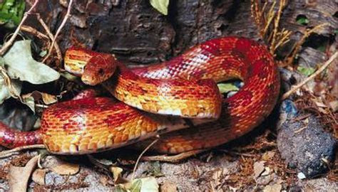 Red Snakes Found in Tennessee   Animals   mom.me