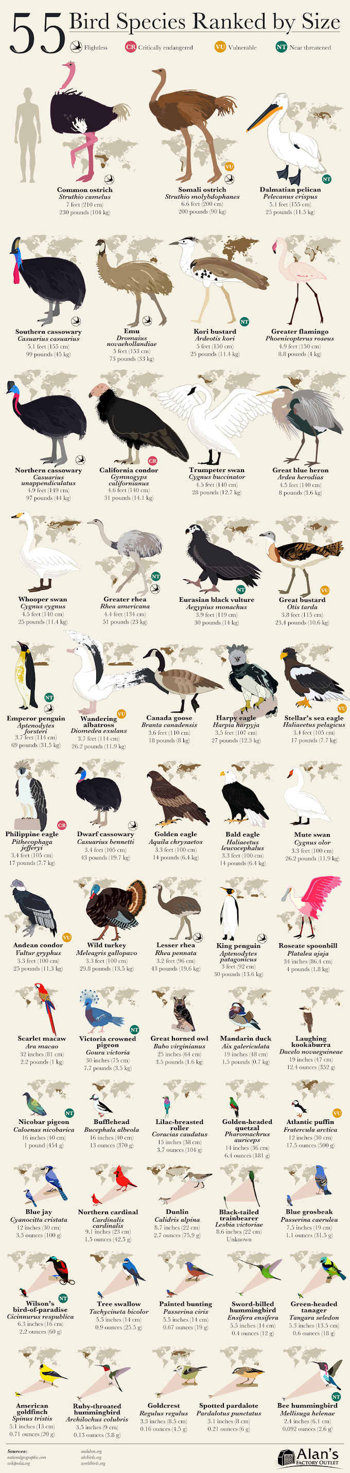 Infographic : 55 bird species ranked by size