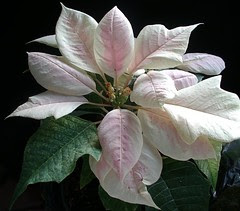 poinsettia / The journey